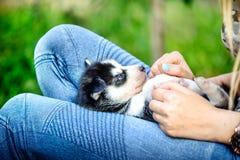 Cachorrinho ronco consideravelmente pequeno exterior nas mãos da mulher foto de stock royalty free