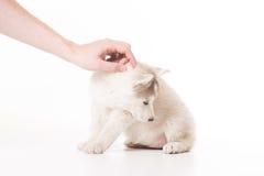 Cachorrinho ronco das trocas de carícias da mão que olha sideway Imagem de Stock Royalty Free