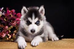 Cachorrinho ronco do cão um mês velho no fundo preto fotos de stock