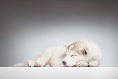 Cachorrinho ronco do sono que olha lateralmente imagens de stock