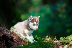 Cachorrinho ronco em uma floresta selvagem imagens de stock royalty free