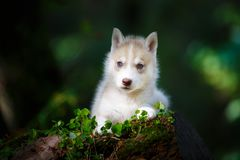 Cachorrinho ronco em uma floresta selvagem imagem de stock