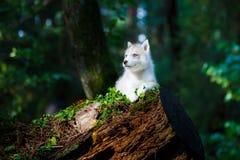 Cachorrinho ronco em uma floresta selvagem fotografia de stock royalty free