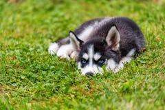 Cachorrinho ronco na grama fotografia de stock royalty free