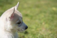 Cachorrinho ronco Siberian que senta-se na grama verde fotos de stock