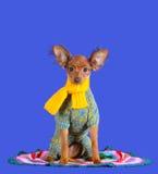 Cachorrinho ruivo bonito em um vestuário feito malha imagens de stock