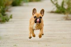 Cachorrinho running do buldogue francês Fotografia de Stock Royalty Free