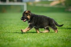 Cachorrinho running do pastor alemão Fotos de Stock Royalty Free