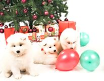 Cachorrinho Siberian branco bonito do Samoyed três que joga sob a árvore de Natal Fotos de Stock