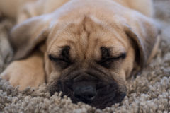 Cachorrinho sonolento de Bullmastiff Imagens de Stock