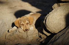 Cachorrinho sonolento na luz solar, Leh, Ladakh, Índia Imagens de Stock