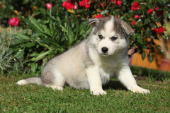 Cachorrinho surpreendente do cão de puxar trenós siberian que senta-se no jardim Imagem de Stock
