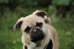 Cachorrinho transversal de Jack Russell do Pug Fotografia de Stock