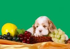 Cachorrinho triste que encontra-se em uma cesta do fruto Cão com orelhas flexíveis imagem de stock royalty free
