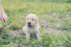 Cachorrinho velho de quatro semanas do golden retriever fora em um dia ensolarado Imagem de Stock