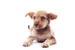 Cachorrinho vermelho Imagens de Stock Royalty Free