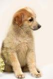 Cachorrinho vermelho & branco Imagens de Stock Royalty Free