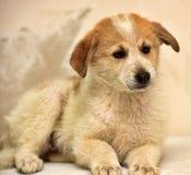 Cachorrinho vermelho & branco Imagem de Stock