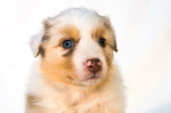 Cachorrinho vermelho de Merle Australian Shepherd Fotos de Stock Royalty Free