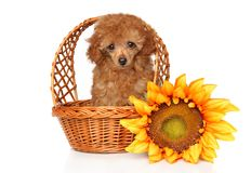 Cachorrinho vermelho de Toy Poodle na cesta do wickker foto de stock