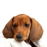 Cachorrinho vermelho do bassê no fundo branco Fotos de Stock