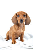 Cachorrinho vermelho do bassê no fundo branco Fotografia de Stock