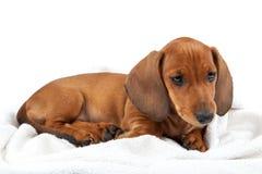 Cachorrinho vermelho do bassê no fundo branco Imagens de Stock
