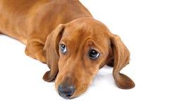 Cachorrinho vermelho do bassê no fundo branco Foto de Stock Royalty Free