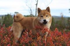 Cachorrinho vermelho do inu do shiba em cores do outono de Noruega Imagem de Stock Royalty Free