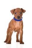 Cachorrinho vermelho do pinscher diminuto Imagens de Stock Royalty Free