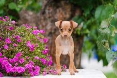 Cachorrinho vermelho do terrier de brinquedo do russo com flores imagens de stock