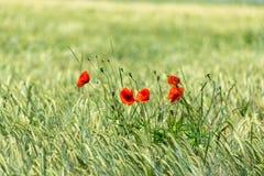 Cachorrinho vermelho no campo de trigo Imagem de Stock Royalty Free