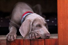 Cachorrinho Weimaraner do retrato do cão fotografia de stock