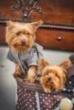Cachorrinhos adoráveis do yorkshire terrier em um carrinho de criança Fotografia de Stock