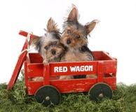 Cachorrinhos adoráveis do yorkshire terrier no vagão vermelho Imagem de Stock Royalty Free