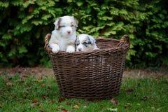 Cachorrinhos australianos do pastor na cesta de vime na grama do jardim Fotografia de Stock