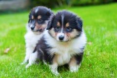Cachorrinhos bonitos da collie Imagem de Stock