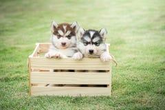 Cachorrinhos bonitos do cão de puxar trenós siberian que pagam na caixa de madeira fotos de stock royalty free