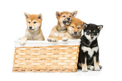 Cachorrinhos bonitos do inu do shiba na cesta Foto de Stock Royalty Free