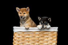 Cachorrinhos bonitos do inu do shiba na cesta Fotografia de Stock Royalty Free
