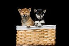 Cachorrinhos bonitos do inu do shiba na cesta Imagem de Stock Royalty Free