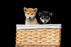 Cachorrinhos bonitos do inu do shiba na cesta Fotos de Stock