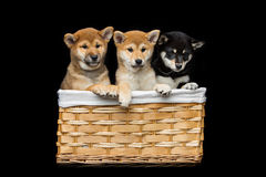 Cachorrinhos bonitos do inu do shiba na cesta Foto de Stock