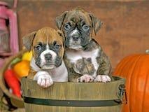 Cachorrinhos bonitos do pugilista Foto de Stock Royalty Free