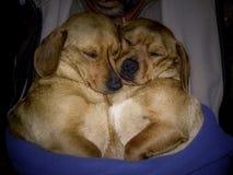 Cachorrinhos bonitos do sono nas mãos do homem fotos de stock royalty free