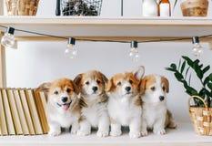 Cachorrinhos bonitos em uma prateleira de madeira imagem de stock royalty free