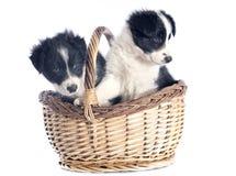 Cachorrinhos border collie Imagem de Stock