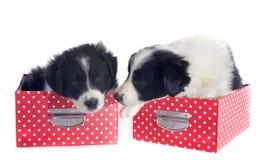 Cachorrinhos border collie em uma caixa imagens de stock royalty free