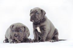 Cachorrinhos cinzentos do corso do bastão Imagens de Stock Royalty Free