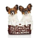 Cachorrinhos continentais de Toy Spaniel Imagens de Stock Royalty Free